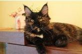 Ch.(WCF) Haifa Perfect Cat*UA of Maidilicos
