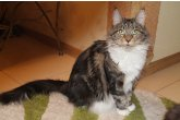 Int.Ch.(WCF) Italia Perfect Cat*UA of Maidilicos