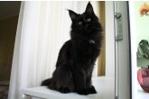 Dixie Perfect Cat*UA of Maidilicos