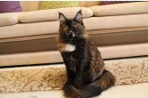Ch.(WCF) Haifa Perfect Cat*UA of Maidilicos