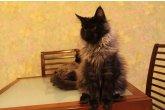 Hilton Perfect Cat*UA