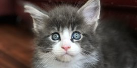 В нашем питомнике 17.05.2020 г. родились котята