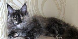 Кошечка Hanni Maidilicos в поиске любящей семьи